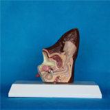 Orelha de cão animal de ensino científica da biologia modelo canino da anatomia (R190117)