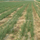 Травы черное Gojiberry мушмулы органические