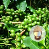 Verde del grano de café P. E.