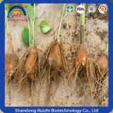 Китайская естественная выдержка Atractylodes Lancea трав