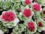 Het natuurlijke Uittreksel van Salidroside Rosavin Rhodiola Rosea voor het Supplement van het Voedsel