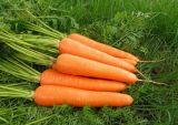 Mietitrice della carota del fornitore, carota fresca