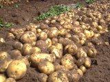 Export der frischen Kartoffel mit gutem Preis