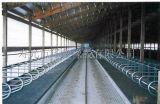 La mucca si è liberata dei granai del metallo della struttura d'acciaio