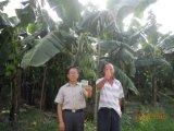 [أونيغروو] [سيل يمبروفمنت] يستعمل على موز يزرع