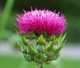 Extrato 80% natural Silymarin do Thistle de leite