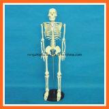 los 85cm altos, modelo de enseñanza médico esquelético humano de la anatomía