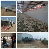 Equipamento de cultivo automático das aves domésticas para galinhas da camada do reprodutor da grelha