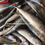 De productie Bevroren Vreedzame Makreel van Vissen