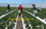 UVwiderstand-nicht gesponnenes Gewebe für die Landwirtschaft