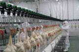 Machines automatiques d'abattage de volailles pour poulets à chair