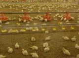 Casa da exploração agrícola de galinha das aves domésticas do painel de sanduíche da fibra de vidro da construção de aço
