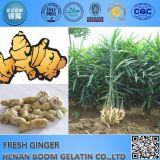 Neuer China-frischer Ingwer-heißer Verkauf des Getreide-2016