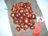Castanha fresca da colheita nova de China (30-40, 40-50, 50-60, 40-60, 60-80)