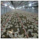 Fabbricato agricolo prefabbricato chiaro del pollo della struttura del blocco per grafici d'acciaio