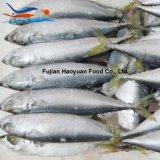 Het leveren van Overzees Bevroren Vreedzame Makreel W/R