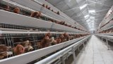 Оборудование птицефермы или система клеток цыпленка слоя