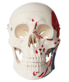 Modelo muscular del cráneo de la talla natural, 3 porciones