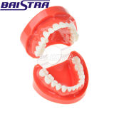 Modelo dental dental dos dentes do modelo de estudo da alta qualidade