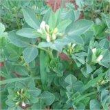 Extração de semente de feno-grego 50% -70% Saponinas de furostanol para melhoramento masculino