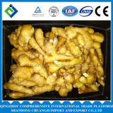 Jengibre fresco chino/jengibre a medias seco con alta calidad