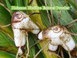 Rhizoma Bletillaeのエキスの粉かExtractumの根茎のBletillaeの粉