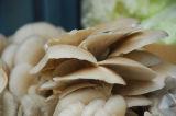 Macchina d'imbiancamento per l'agarico