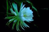 Greensource, pellicola di scambio di calore per i fiori di Lovly