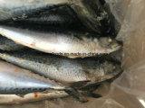 고지방 내용을%s 가진 동결된 백색 고등어 (150g-250g)