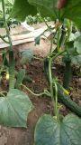Bio fertilizante orgánico de Unigrow para el establecimiento del pepino