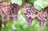 新しいブドウ