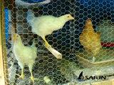 Alambre de pollo de Sailin cerca de la pared de la paja