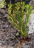 Estratto di Huperzia/Lycopodium dentellati Serratum P.E. 102518-79-6