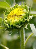 Eetbare Zaden van de Zonnebloem 5009 van BinnenMongolië