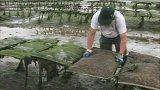 Auster, die heraus Ineinander greifen-Beutel/Austeren-Bauernhof wächst