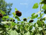 Heiße Verkaufs-China-Ursprungs-Sonnenblumensamen