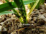 新しい殺菌剤Azoxystrobin 95%Tc、25%Sc、50%Clの25%Wdg殺菌剤Azoxystrobin