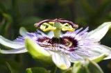 Flavonoïdes 4%, 5% ; Extrait de Passionflower de Vitexin 1.2%~4%