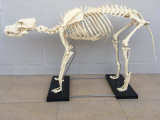 Dog Pet laboratório animal Medical Supply Anatomy Modelo Canino Veterinária Skeleton