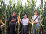 Condizionatore del terreno di Unigrow sulla piantatura del cereale