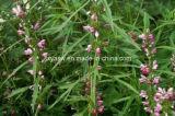 Хлоргидрат CAS Stachydrine отсутствие выдержки Motherwort 471-87-4
