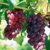 Regulador del crecimiento vegetal de rey Quenson Agrochemicals Chlormequat Chloride