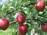 Extrato natural de 100% Apple com Polyphenol 45%, 50%, 75%, 80%
