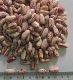 Feijões-roxos salpicados da luz nova da colheita (forma longa)
