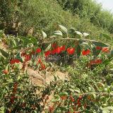Vitamina di Wolfberry della bacca di Goji della nespola
