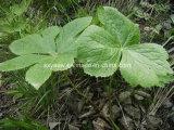 CAS отсутствие смолаы Podophyllum 4354-76-1 естественной 50%