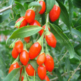 Native secca Wolfberry Goji Berry