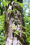 Естественная выдержка расшивы сосенки Proanthocyanidin