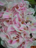 Самый лучший продавая тюльпан Gu-Hy427220440