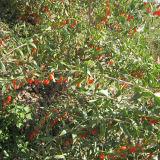 Ягода волка мушмулы 2016 свежая органическая